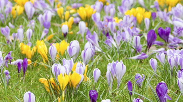 bulbs on lawns
