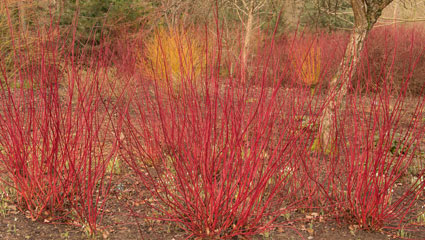 dogwood willows