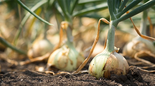 onions allotment